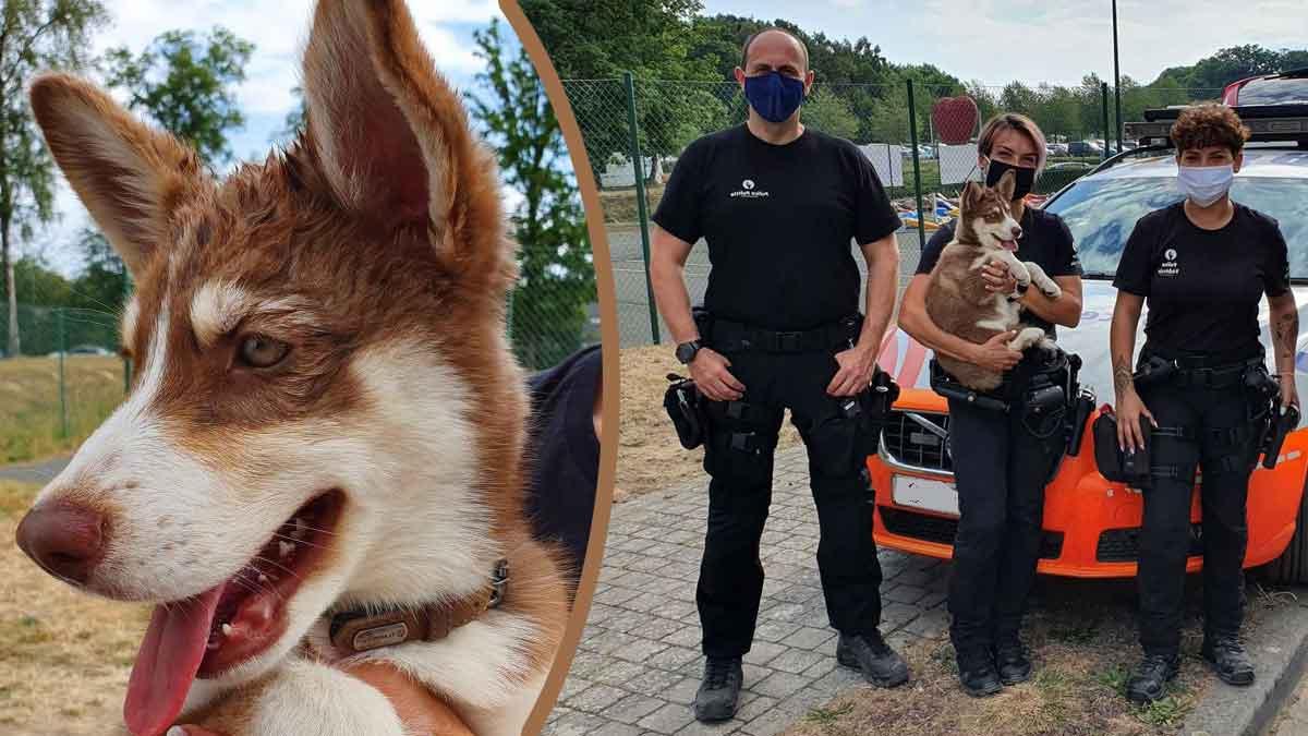 C'est scandaleux : un husky de 04 mois laissé dans le coffre d'une voiture où il faisait près de 50 degrés ! La police intervient !